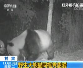 """相机捕捉到野生大熊猫""""情侣""""摸脸秀恩爱"""