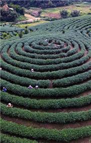 五指山上茶飘香