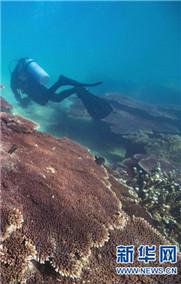 潛水教練擔任珊瑚保育員