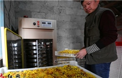 Chrysanthemum becomes gold for farmers in Jingzhou