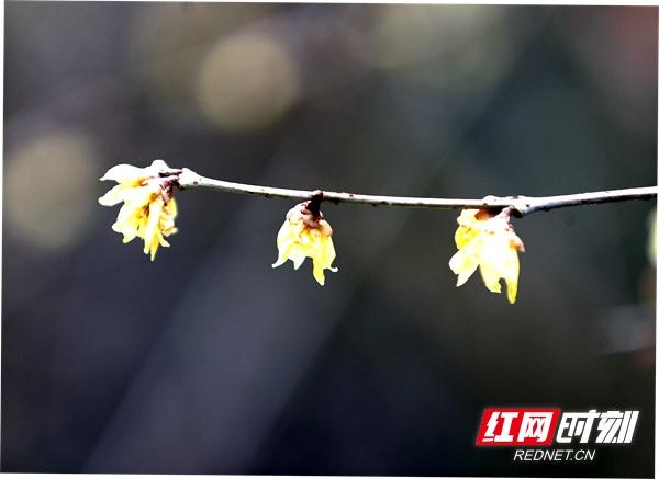 武陵源风景区黄石寨梅园的梅花渐次绽放,鲜艳柔嫩的花瓣悬挂枝头,喜笑