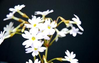 张家界黄龙洞景区:海棠花开透春意