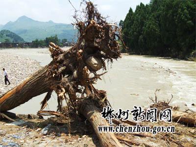 大树被洪水连根拔起