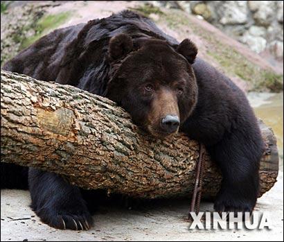 在莫斯科动物园内,本该冬眠的熊依然在户外活动.