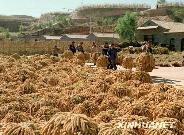 这是1972年拍摄的大寨获得谷子丰收的情景。