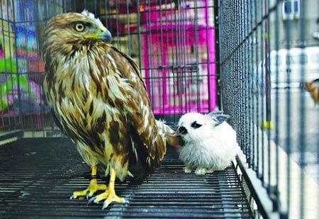 中国频道 > 正文   今报郑州讯 小白兔偎在老鹰身边,小嘴嚅动着,像舔