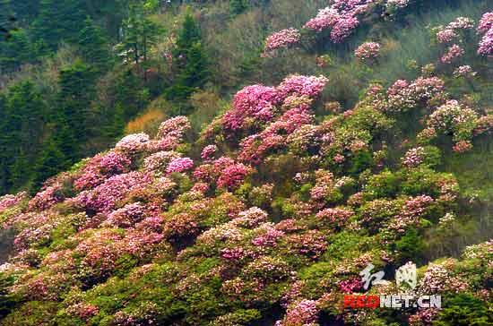杜鹃是中国的三大名花之一,神农架是华中地区杜鹃花资源的最为