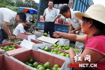 上海客商前来收购柑桔