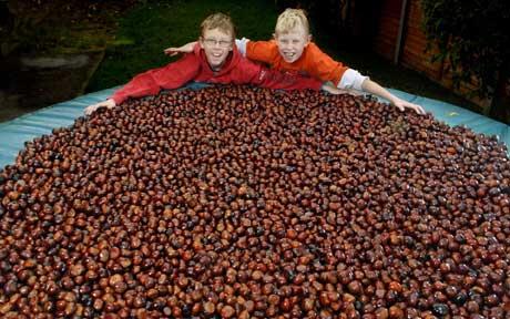 他们的7500多个七叶树果实