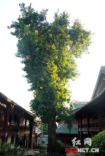 """南华寺里的菩提树,此寺是""""菩提本无树,明镜亦非台,本来无一物,何处惹"""