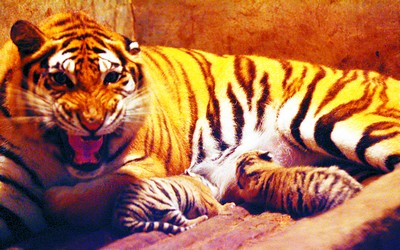 昨日下午,石燕湖生态公园的动物园里,两只黄白相间的小虎崽在虎妈妈的