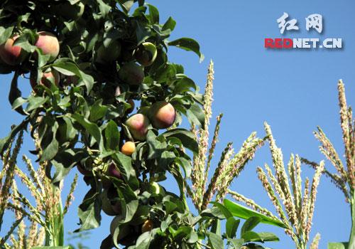 小苹果等果树种类