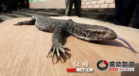 壁纸 动物 蜥 蜥蜴 580_319