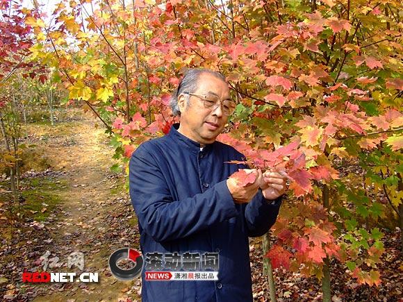 红网 新闻频道 > 正文   (11月14日,开福区北美红枫苗圃内,何大爷正在