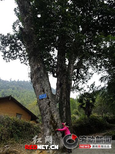 (炎陵县桐车湾的一棵古树