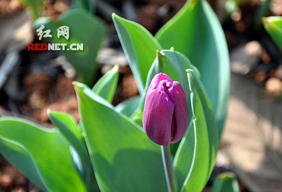 湖南/(郁金香是荷兰国花。)