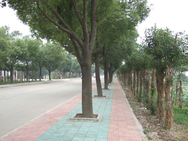 (枝繁叶茂的香樟树用绿色点缀着人们的生存环境。)   在我居住的大院内,长着许多高大茂密的香樟树。无论是严寒酷暑还是风雨雪霜,它们始终郁郁葱葱,苍翠欲滴,用绿色点缀着大院的生存环境,给人们带来美好的希望。每当我经过这些香樟树的时候,心里油然而生一种敬意,久久不忘。我一直想把这种感觉写下来,但由于各种原因都没有写成。今天,当我置身于雪域高原后,一种强烈的愿望想把那种感觉写出来,让大家看到这些美丽的香樟树。      香樟树在湖南是很普通的一种树,然而实在是不平凡的一种树!它有一种温而不炽的生命热情,也有一