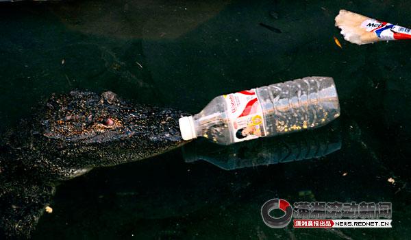 """(10月3日,长沙市生态动物园鳄鱼馆,游客们乱扔的矿泉水瓶""""侵占了""""鳄鱼图片"""