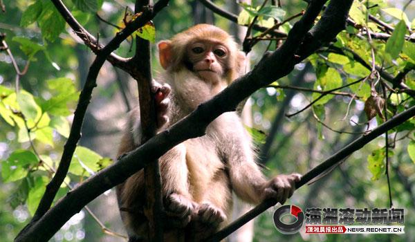 图为张家界武陵源风景区内的猴子.)