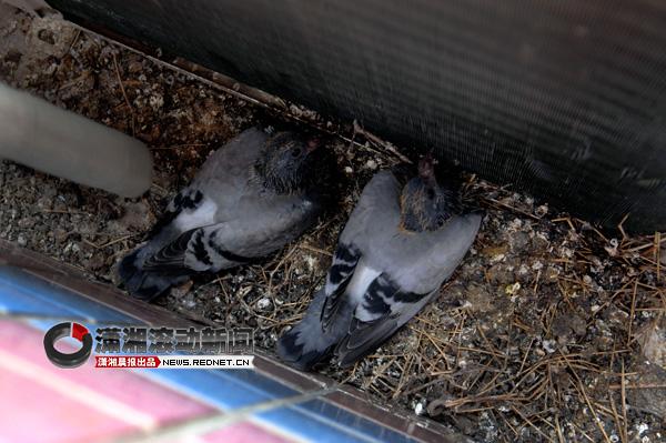 鸽子在空调外机筑爱巢 房主忍热吹电扇[图]