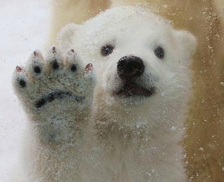 红网 环球频道 > 正文   这个可爱的三个月大的北极熊在丹麦雪地里