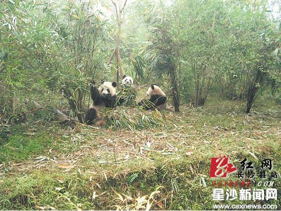 """长沙生态动物园""""功夫熊猫""""妮妮正式迎客"""