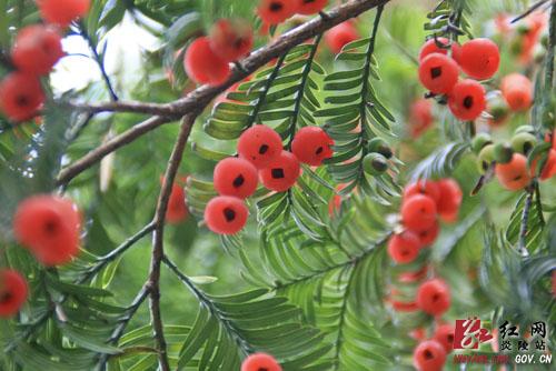 """·""""风水神树""""红豆杉家庭盆栽养殖窍门一二三 - 冬日暖陽 - 缘来如此心动"""