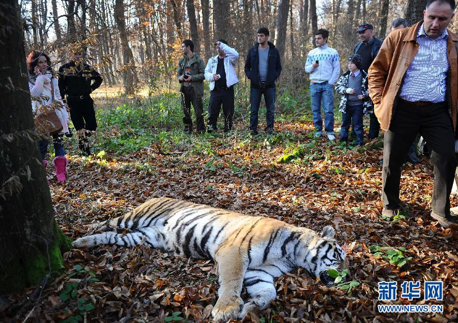罗马尼亚一老虎逃出动物园后被击毙