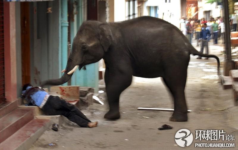 印度两头失控野象闯入城市致1死多人受伤   两头失控的野生亚洲象于2011年6月闯入印度南部迈索尔市,踩死一名男子,撞伤多人。据悉,这两头青年公象当天闯入迈索尔市,一头钻入一所女子学校校园,一头闯入位于居民区内的竹子市场。在集市内,野象先是踢翻了一头奶牛,随后将一名55岁男子踢倒并踩踏数脚。野象大闹迈索尔长达5小时,当地政府管理部门用高音喇叭提示附近居民避免外出。护林员与迈索尔动物园工作人员花费3小时时间控制两头大象,当晚将两头野象送回森林。