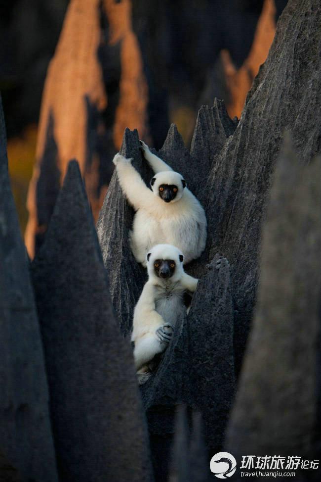 这片石林由于少有人探访,成了名副其实的动物乐园,来到这里,到处可见当地的狐猴,蹲在林尖上。   据摄影师称,这是一次令人难以置信的拍摄之旅,在这里我们看到了雪白的狐猴白天在石林内觅食,犹如杂技演员一样在锋利的石林尖顶间凌空跳跃,这一切太惊险刺激了。   在马达加斯加这个以生物多样性著称的岛屿上,百分之九十的物种都是本地特有,而其中这片面积1550平方公里的青夷贝马拉哈国家公园与保护区本身又像是一个孤岛,或者说某种生态堡垒。它地势崎岖,人迹罕至,巨大的石灰岩尖峰当地称之为青夷遍及全境,使