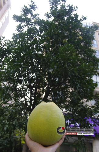 种植的柚子树主要是用来观赏的