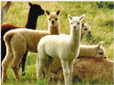 北京动物园有羊驼_北京动物园羊驼