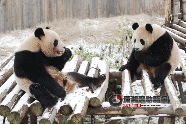 (生态动物园的大熊猫最喜欢下雪天.图/潇湘晨报滚动新闻记者 谢长贵)