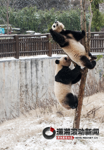 """雪天""""好天气"""" 生态动物园的大熊猫闹得欢[图]"""