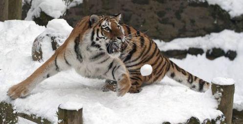 """英格兰动物园上演老虎抓雪球""""精彩表演""""."""
