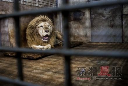 """白狮缺乏磨练指甲倒长入肉 长沙生态动物园为其做""""美甲"""""""