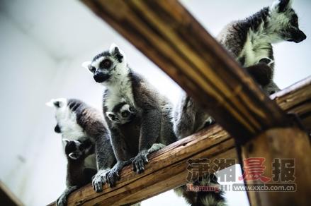 3月21日,长沙生态动物园,节尾狐猴宝宝抱紧节尾狐猴妈妈在室内场馆