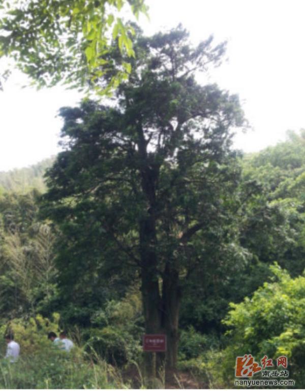 从红豆杉的树皮和树叶中提炼出来的紫杉醇对多种晚期癌症疗效突出,被