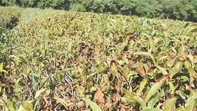 茶树根做的盆景图片