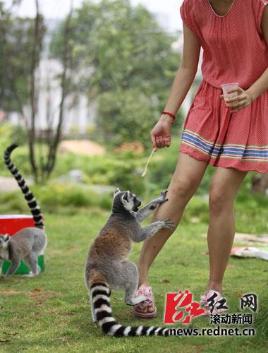 2012年6月20日,长沙生态动物园,一游客正在喂食节尾狐猴.