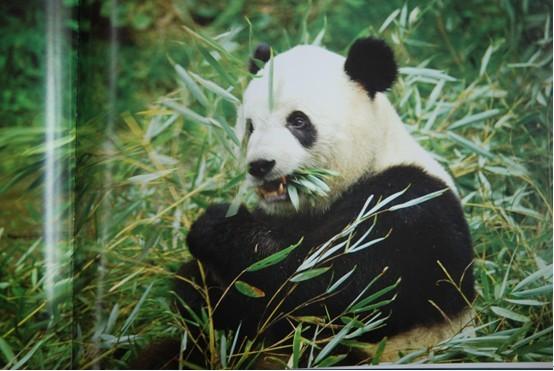 爬树熊猫简笔画步骤图