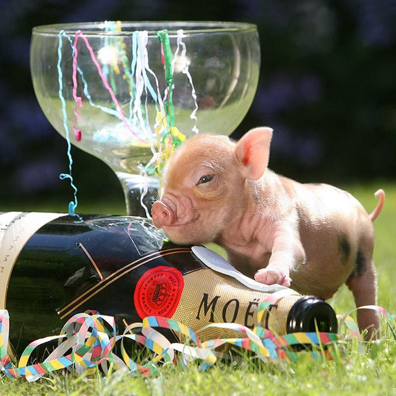 超萌迷你宠物猪的幸福生活