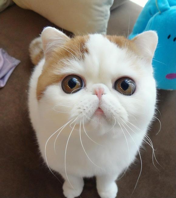 包子脸的史努比猫 丰腴身材呆萌大眼睛
