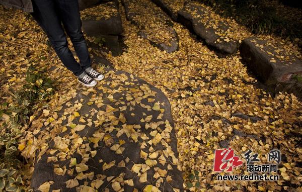 (11月14日,湖南烈士公园,地上堆满金黄色的银杏落叶.