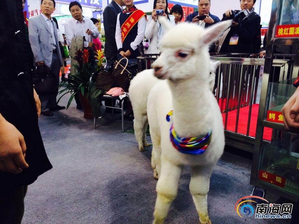 冬交会上的外籍动物引围观:羊驼,天鹅成门神; 冬交会上的外籍动物引围