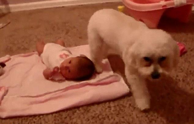 视频中,一只可爱的白色贵宾犬弓着身子保护主人爱女