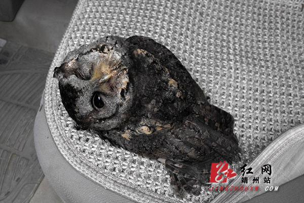 靖州:警民救助受伤国家二级保护动物