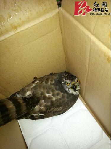 店铺飞来不速之客 原是国家二级保护动物猫头鹰