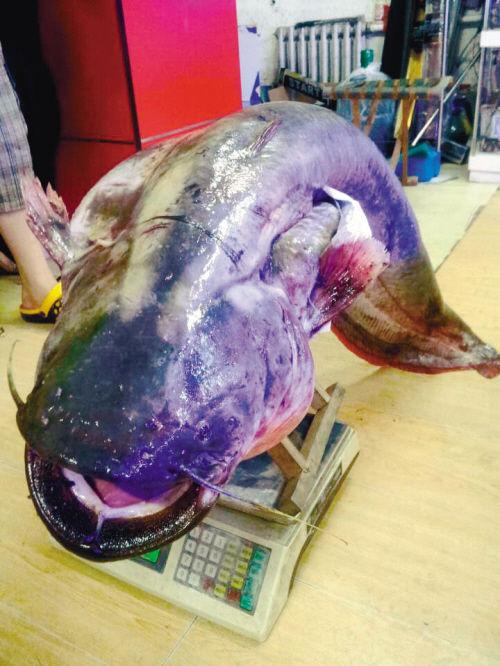 男子钓上92斤重鲶鱼 称肉质细腻鱼肉很肥(图)