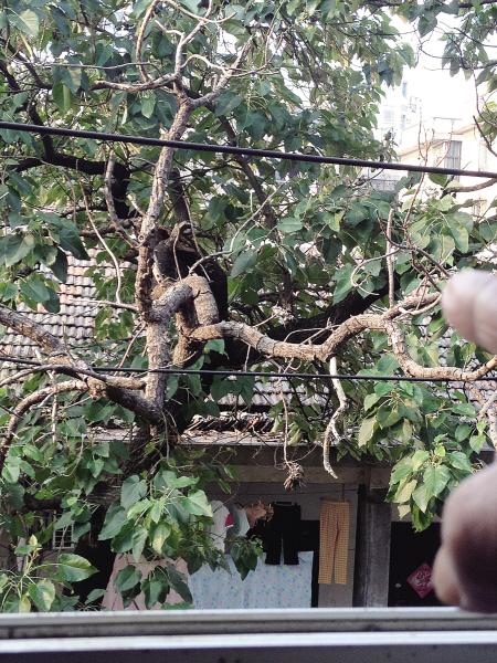 泡桐树枝要断了